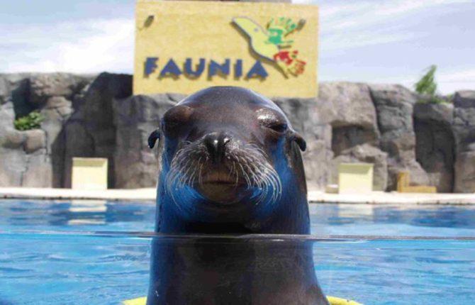 focas